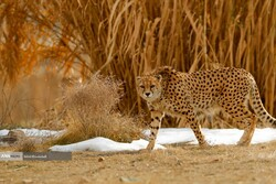 Asiatic cheetahs' return to birthplace