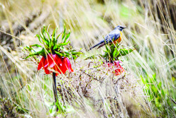 A bird sits on the top of an inverted tulip on the hillside of Mount Golestan, central Khansar county, May 4, 2020.