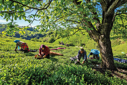Tea harvest begins in northern Iran