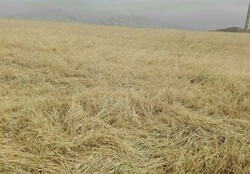 Windstorm damages agriculture in northern Iran
