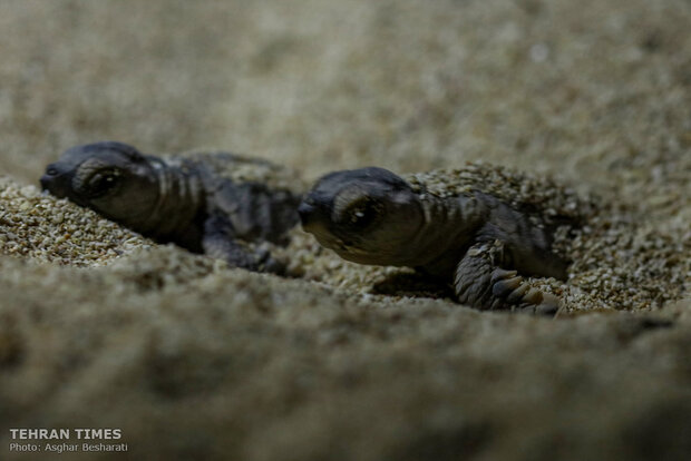 Newly-hatched baby turtles make their ways to the Persian Gulf