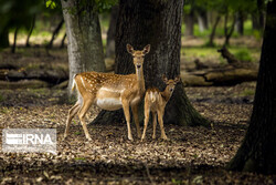 Persian fallow deer breeding site operating in northern Iran
