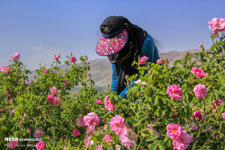 Smell of life: Rose harvest offers jobs to women