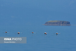 Reviving Lake Urmia hosting large flocks of flamingos