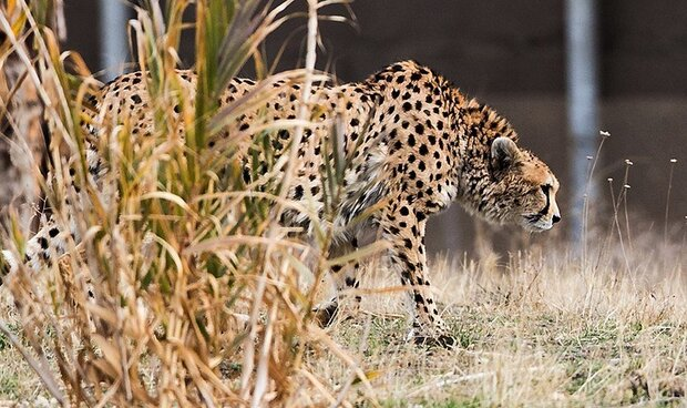 Technology comes to help Asiatic cheetah protection in Iran