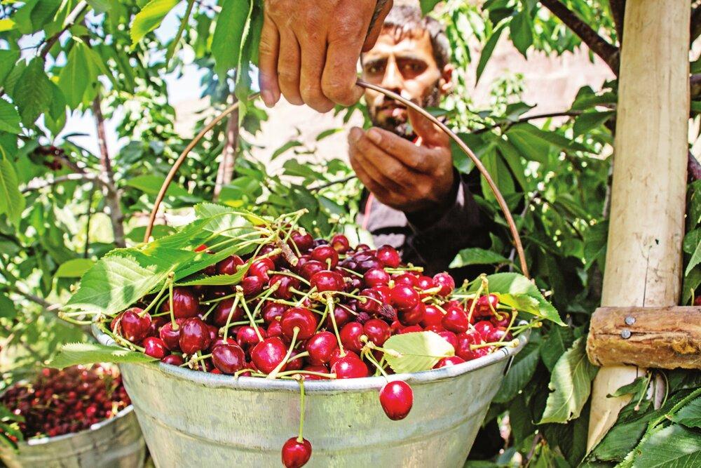 Harvest season brings new life to Iran's Alamut