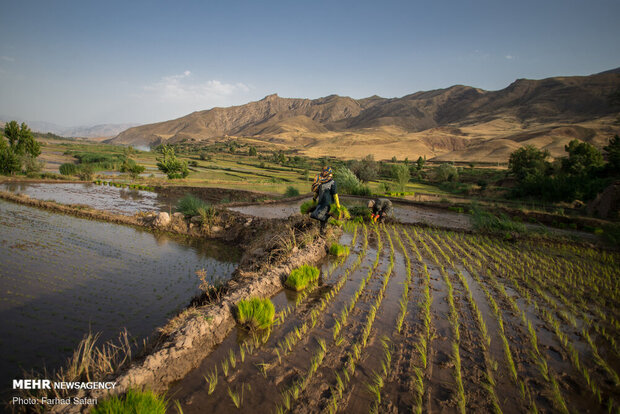 Rice planting commences at paddy fields in Alamut