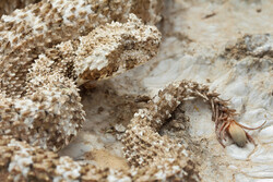 Rare spider-tailed horned viper spotted in western Iran