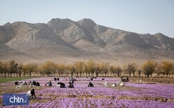 Survey to examine role of saffron in tourism development