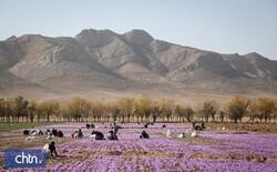 Survey to examine role of saffron in tourism development