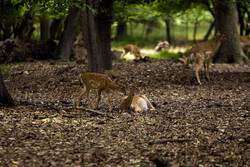 Persian fallow deer breeding in favorable condition