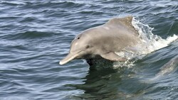 Conservation plan prepared for Persian Gulf humpback dolphins