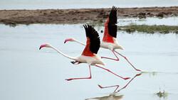 Flamingos land in international Kani Barazan wetland