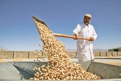 Pistachio harvest begins in northeast Iran