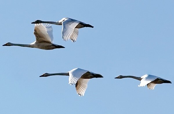 Northwestern wetlands hosting myriads of migratory birds