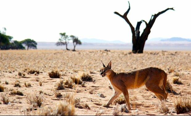 Caracal Desert: habitat of the world's fastest cat