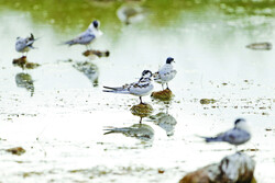 Gandoman Wetland, a top birdwatching spot