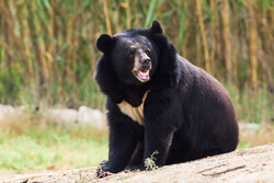 Habitat destruction, poaching endanger Asiatic black bear