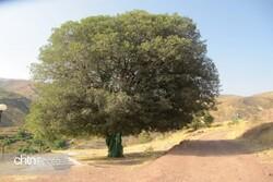 honeyberry tree