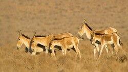 Reproduction site: Persian zebras at lesser risk of extinction