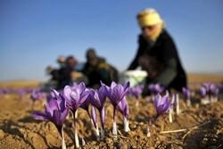 Saffron plantation