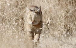 Jungle cat observed for first time in northwestern Iran