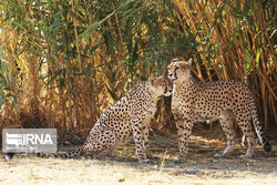 Document on protection of felines inhibiting with cheetahs approved