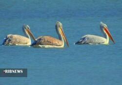 Shadegan wetland home to wintering migratory birds