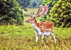 Is reproduction a solution to Persian fallow deer conservation?