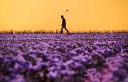 """Saffron Lands"" by Iranian photographerHadi Dehqanpur won the FIAP Gold Medal at the 2nd Pamir International Salon of Photography in Dushanbe, Tajikistan."