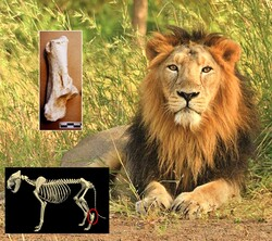 Lion and rhino fossils discovered in Neanderthal cave western Iran