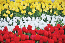 Tulip festival underway in Arak