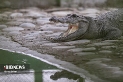 Gando: the only crocodile native to Iran