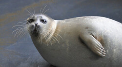 Alarming decline of Caspian seals worrisome