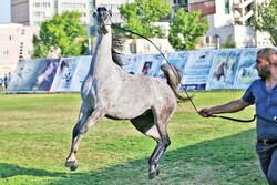 Ardabil hosts Arabian horse beauty contest