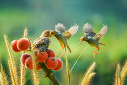 """""""A Pair of Birds"""" by Indonesian photographer Ajar Setiadi won the Kamal-ol-Molk Gold Medal of the Open Color section at the 8th Khayyam International Exhibition of Photography in Iran."""