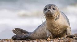 Caspian seals awaiting protection plan to survive extinction