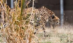 Iranian cheetah in critical condition