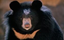 Let's protect precious Baluchi black bear