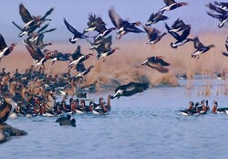 Mazandaran wetlands hosting first flocks of migratory birds