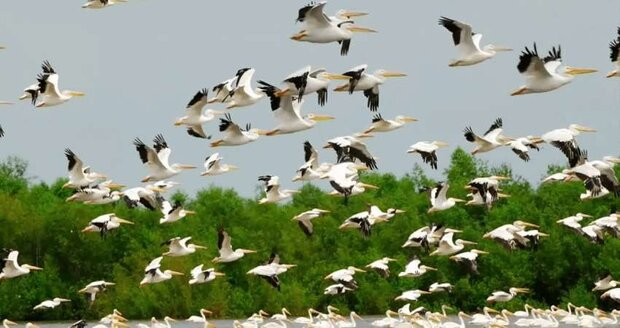 Myriads of migratory birds flying over Gilan province