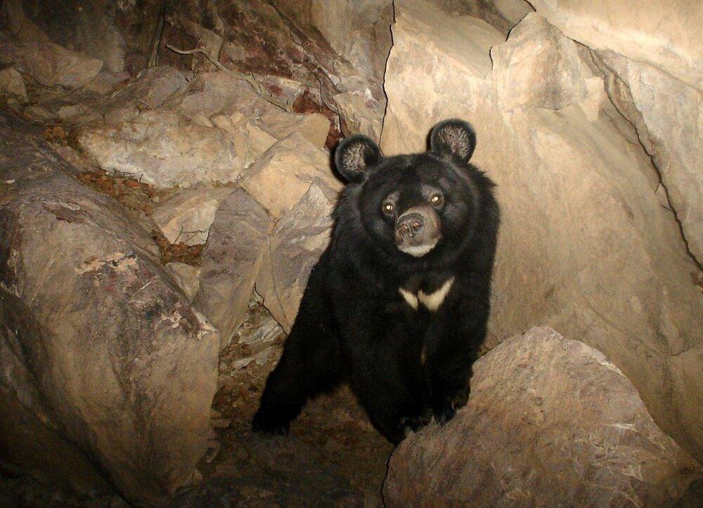 Prolonged drought may increase Asiatic black bear-human encounters in Iran