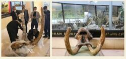 Mastodon skull, ivory on show at biodiversity museum
